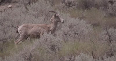 4K Big Horn Sheep walking thru sage bush - NOT Colour Corrected