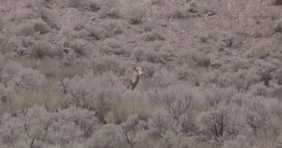 4K Big Horn Sheep standing in sage bush, another walks in to frame - NOT Colour Corrected