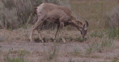 4K Big Horn Sheep eating in sage bush - NOT Colour Corrected