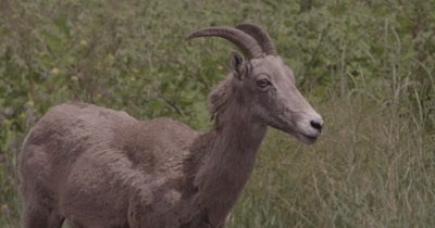 4K Big Horn Sheep birthing sac hanging out, Close up - NOT Colour Corrected