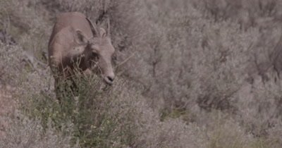 4K Big Horn Sheep eating sage brush, heat waves, Close up, pan off - NOT Colour Corrected