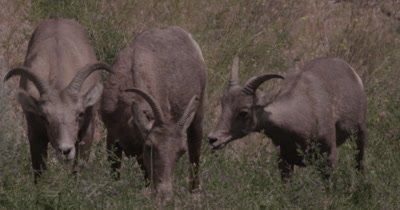 4K Big Horn Sheep three eating sage brush, heat waves, Close up - NOT Colour Corrected
