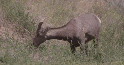4K Big Horn Sheep eating sage brush, Slow Motion - NOT Colour Corrected