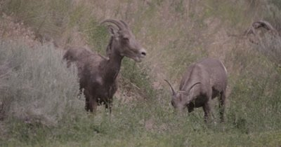 4K Big Horn Sheep two eating sage brush, Slow Motion - NOT Colour Corrected