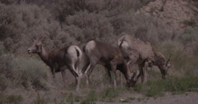 4K Big Horn Sheep three eating sage brush, heat waves, Slow Motion - NOT Colour Corrected
