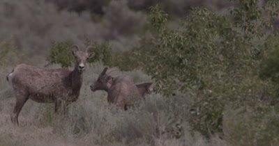 4K Big Horn Sheep three eating sage brush, one stares in to camera, heat waves, Slow Motion - NOT Colour Corrected