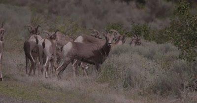 4K Big Horn Sheep several eating sage brush, rack focus, Slow Motion - NOT Colour Corrected