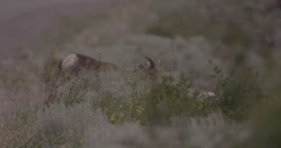 4K Big Horn Sheep behind sage brush eating, Slow Motion - NOT Colour Corrected
