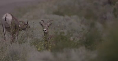 4K Big Horn Sheep two behind sage brush eating, One stares in to camera, Slow Motion - NOT Colour Corrected