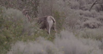 4K Big Horn Sheep walking behind sage brush, Slow Motion - NOT Colour Corrected