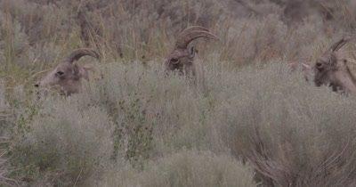 4K Big Horn Sheep three eating behind sage brush, Slow Motion - NOT Colour Corrected