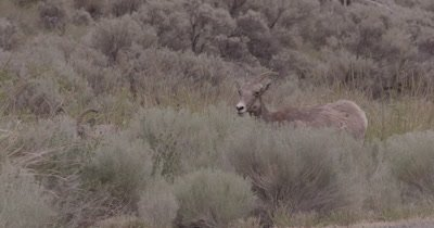 4K Big Horn Sheep several eating behind sage brush, Pan off/on, Slow Motion - NOT Colour Corrected