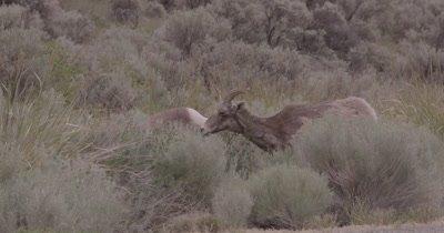 4K Big Horn Sheep several eating behind sage brush, Slow Motion - SLOG2 NOT Colour Corrected