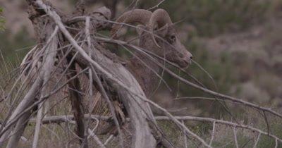 4K Big Horn Sheep Ram hiding behind log - SLOG2 NOT Colour Corrected