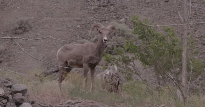 4K Big Horn Sheep Ram charging branches, slow Motion - SLOG2 NOT Colour Corrected