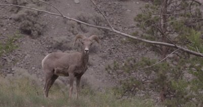 4K Big Horn Sheep Ram scratching and grazing, Slow Motion - SLOG2 NOT Colour Corrected