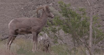 4K Big Horn Sheep Ram grazing, Stands poised, Slow Motion - SLOG2 NOT Colour Corrected