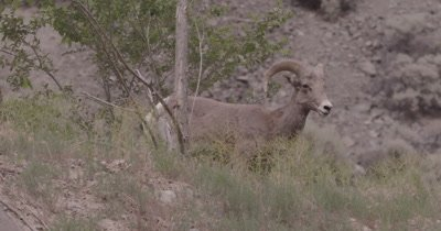 4K Interior Big Horn Sheep male/buck eating. disappears behind rocky hill, Slow Motion - SLOG2 NOT Colour Corrected