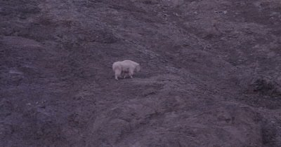 4K Mountain Goat eating/grazing on steep rock face, Tighter Shot - SLOG2 NOT Colour Corrected