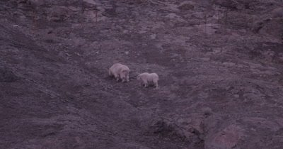 4K Mountain Goat, two eating/grazing on steep rock face, Tighter Shot - SLOG2 NOT Colour Corrected