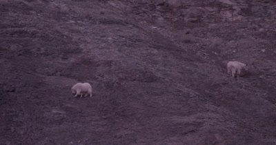 4K Mountain Goat, two eating/grazing on steep rock face, Tighter Shot - SLOG3 NOT Colour Corrected