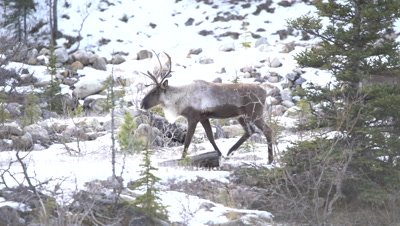 4K Caribou Male/Buck leads herd walking over snow covered rocks, one climbs up mountain in northern Canada, Focus Pull, Zoom in, Zoom out - NOT Colour Corrected