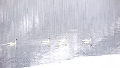 4K trumpeter swan four swim across lake - NOT Colour Corrected