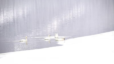 4K trumpeter swan four swim across lake. One dives - NOT Colour Corrected