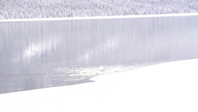 4K trumpeter swan four swim across lake, wider shot, snow banks and trees - NOT Colour Corrected