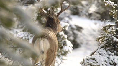 4K Deer male/buck full mature antlers in forest covered in snow - NOT Colour Corrected