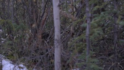 4K Porcupine hiding in shrubs and snow, hand held - SLOG2