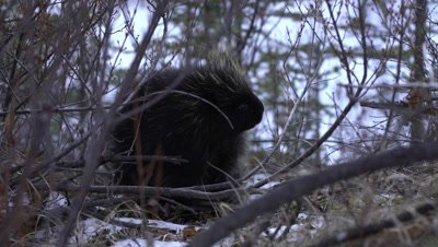 4K Porcupine hiding in shrubs and snow, hand held - NOT Colour Corrected