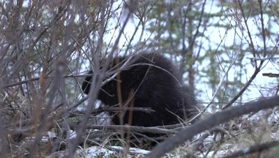 4K Porcupine in shrubs and snow, hand held - NOT Colour Corrected