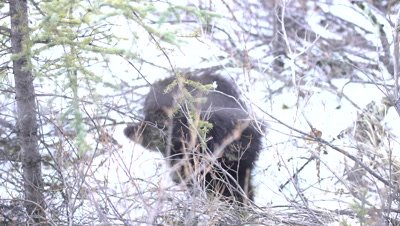 4K Porcupine walks out of shrubs on to snow, hand held - NOT Colour Corrected