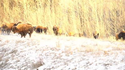 4K Wood Bison grazing in snow covered meadow - NOT Colour Corrected