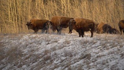 4K Wood Bison grazing in snow covered meadow, Pan - NOT Colour Corrected