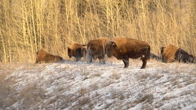 4K Wood Bison grazing in snow covered meadow, Pan, Young male mounts female - NOT Colour Corrected