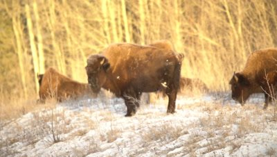 4K Wood Bison grazing in snow covered meadow, Pan, Steam breathe - NOT Colour Corrected