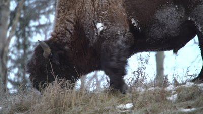 4K Wood Bison grazing on grass in snow covered meadow, Close Up - NOT Colour Corrected