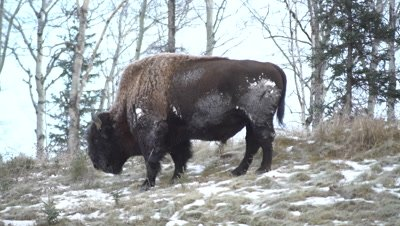 4K Wood Bison grazing on grass in snow covered meadow, Rack Focus - NOT Colour Corrected