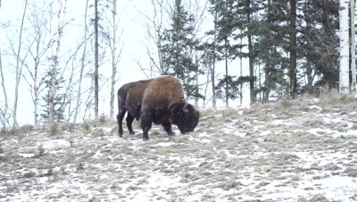 4K Wood Bison grazing on grass in snow covered meadow, Wider Shot- NOT Colour Corrected