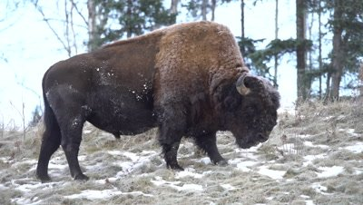 4K Wood Bison grazing on grass in snow covered meadow, Zoom - NOT Colour Corrected