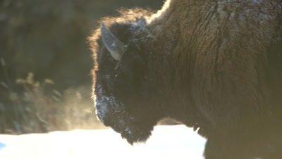 4K Wood Bison sun back lit walking, Close up, Rack Focus - NOT Colour Corrected