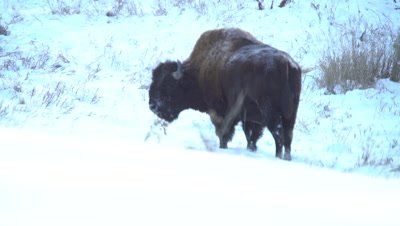 4K Wood Bison forging in snow walking, turns to camera - NOT Colour Corrected