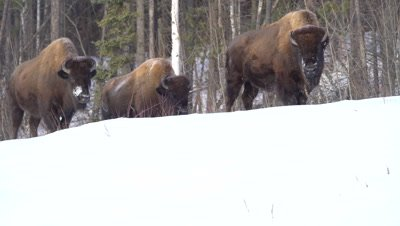 4K Wood Bison herd grazing grass thru snow, pan - NOT Colour Corrected
