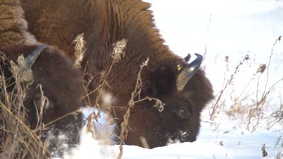 4K Wood Bison herd grazing grass thru snow, pan, Close Up - NOT Colour Corrected