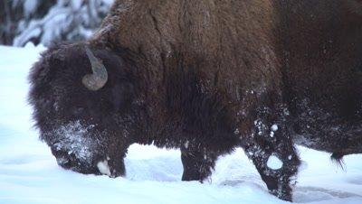 4K Wood Bison grazing grass thru snow, pan, Close Up - NOT Colour Corrected