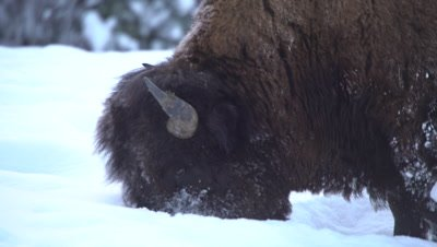 4K Wood Bison grazing grass thru snow, Close Up - NOT Colour Corrected