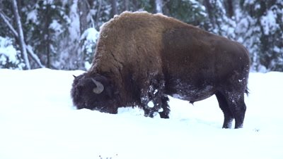 4K Wood Bison grazing grass thru snow, zoom out - NOT Colour Corrected