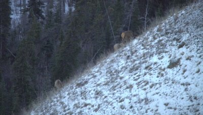 4K Elk herd grazing on grass in snow steep hill, Wider shot - NOT Colour Corrected